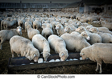 herd of sheeps - A herd of sheeps in the rural farm