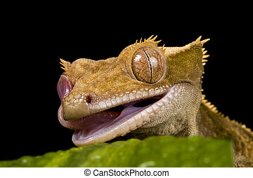 New Caledonian Gecko - Close up of a New Caledonian Gecko on...