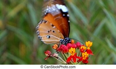 Diners Butterflies. - Diners Butterflies in Chiang Rai City...