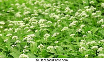 White flowers of Allium ursinum or wild garlic or Ramson