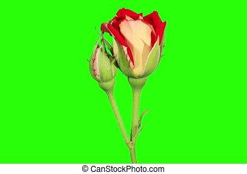 Blooming red roses flower - 4K. Blooming red roses flower...