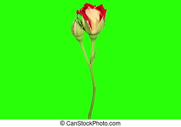 Blooming red roses flower buds - 4K Blooming red roses...