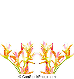 Heliconia Sassy - Pink Heliconia flower, Heliconia...