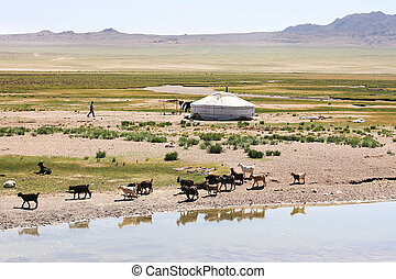 Mongolia - Traditional mongolian landscape. Herd of goats on...