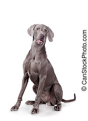 Weimaraner isolated on white - Funny Weimaraner Dog isolated...