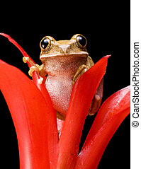 Marbled Reed Frog - Close up of a Marbled Reed Frog on a red...