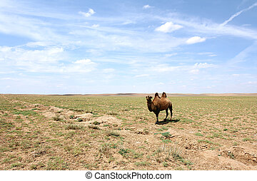Camel in the Gobi desert - A Bactrian Camel in the Gobi...