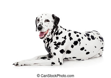 Dalmatian dog, isolated on white - Beauty dalmatian dog,...