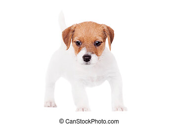 Jack Russell puppy, 1,5 month old, on white - Jack Russell...