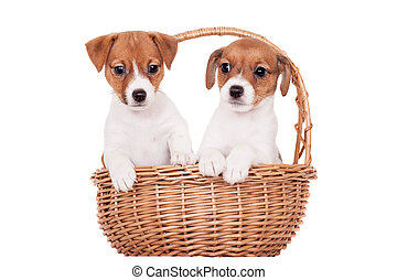 Two Jack Russell puppies, 1,5 month old, on white - Two Jack...
