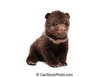 brązowy, Niedźwiedź, szczeniak, Ursus, Arctos, biały