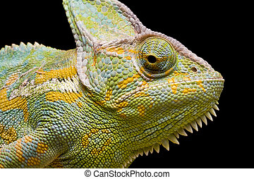 Yemen/Veiled Chameleon - Close up of a Yemen/Veiled...