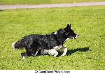 Running border collie - Smart border collie running on the...