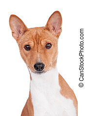 Basenji dog isolated on white - Pranksome red basenji...