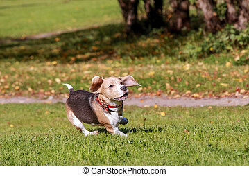 Beagle dog running on grass - Beauty beagle dog running on...