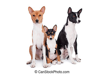 Three basenjis isolated on white - Three basenjis, tricolor,...