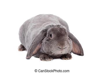 Grey lop-eared rabbit rex breed on white - Grey lop-eared...