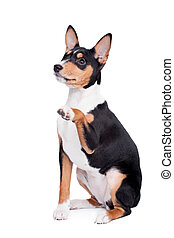 Basenji puppy, 3 month, isolated on the white - Little...