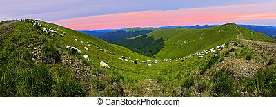 Herd of Sheep - Flock of sheep in the Carpathian mountains....