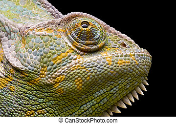 YemenVeiled Chameleon - Close up of a YemenVeiled Chameleon...