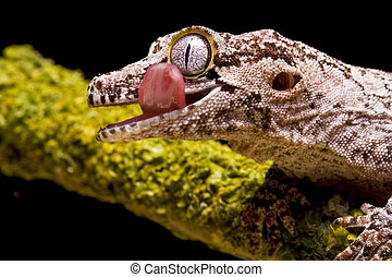 Gargoyle Gecko - Close up of a Gargoyle Gecko on a green...