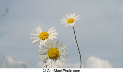 chamomile on blue sky, meadow