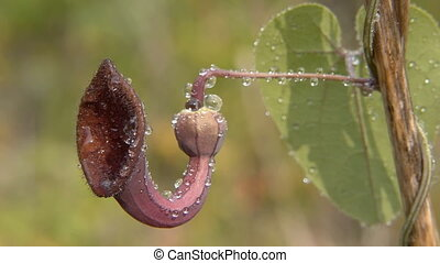 aristolochia baetica with water drops in spring