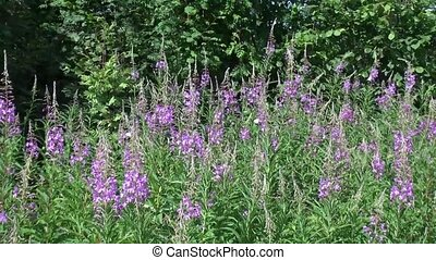 Rosebay Willowherb and butterflies - Rosebay Willowherb or...