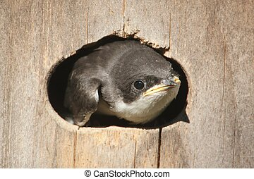 Baby Tree Swallow (tachycineta bicolor) in a bird house
