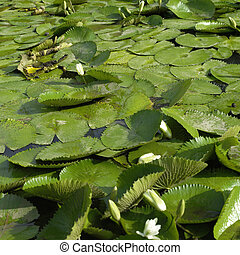 white lily pads - White lily pads and green leaves