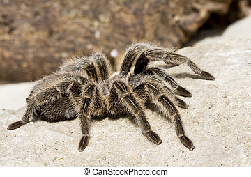 Tarantula Spider - Close up of a Tarantula Spider on a rock...