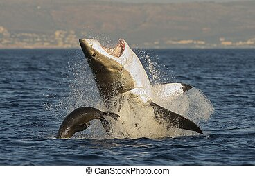 Great White Shark breaching - Great White Shark Carcharodon...