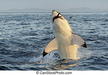Great White Shark breaching - Great White Shark (Carcharodon...