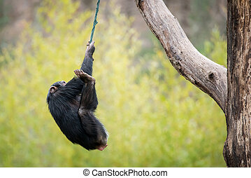 Swinging Chimp - Young Chimpanzee Swinging on Improvised...