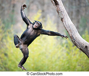 Chimp in Flight - Young Chimpanzee Swinging and Jumping from...