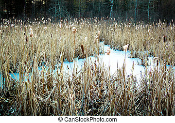 Cattails in a freezed swamp during winter season