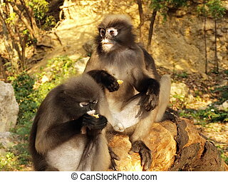 Spectacled langurs Trachypithecus obscurus on a tree - The...