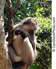 Spectacled langur Trachypithecus obscurus on a tree - The...