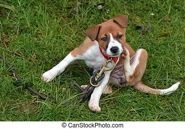 Puppy dog scratching - Little puppy Foxhound dog is...