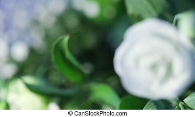 White rose to reveal