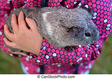 Guinea pig - Geray Guinea pig in childs hands in animals...