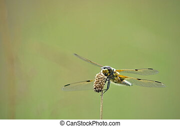Libellula quadrimaculata dragonfly - Wildlife photo from...
