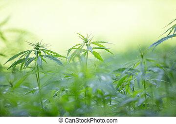 Usines,  cannabis,  Marijuana, jeune