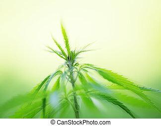 jeune, cannabis, Usines, Marijuana