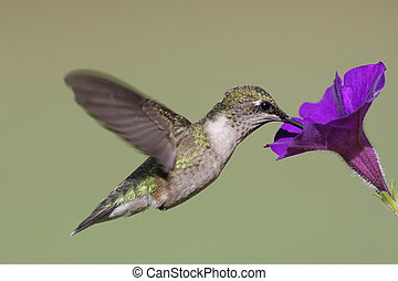 Juvenile Ruby-throated Hummingbird archilochus colubris in...