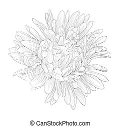 beautiful monochrome, black and white aster flower isolated...