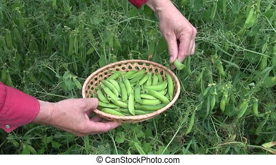 picking harvesting ripe green pea - picking harvesting fresh...