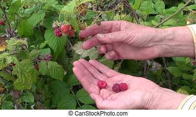 senior woman hands pick raspberry