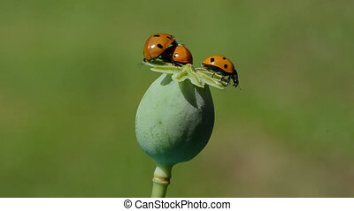 three ladybird on green poppy seed box One insect bug start...