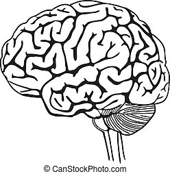 Vector outline illustration of human brain